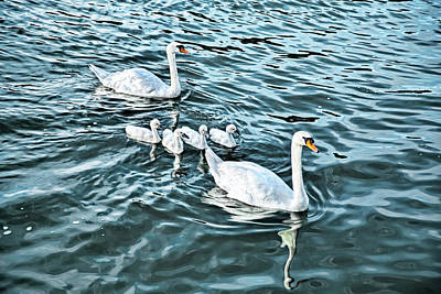 Photograph - The Swan Family by Kay Brewer