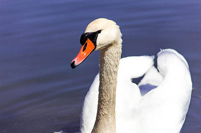 Stratford Photograph - The Swan by Nancy Comley