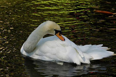 Photograph - The Swan by Roger Mullenhour