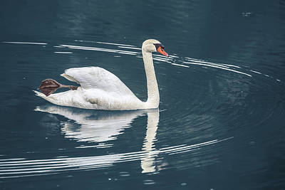 Photograph - The Swans Of Chetola by John Haldane