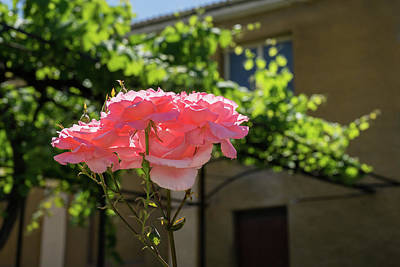 Photograph - The Sweet Scent Of Summer - Old-fashioned Roses In The Backyard by Georgia Mizuleva
