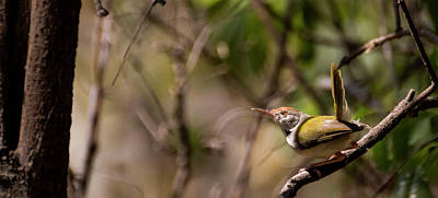 Ready To Fly Photograph - The Tailor Bird by Varun BC