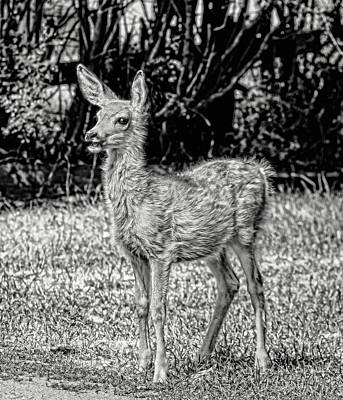 Photograph - The Talking Fawn Monochrome by Jennie Marie Schell