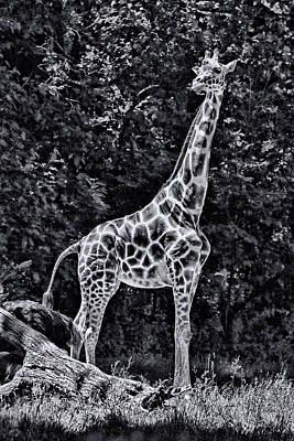 Photograph - The Tall One - Black And White by Allen Beatty