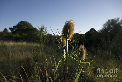 Thorns Wall Art - Photograph - The Teasel by Smart Aviation