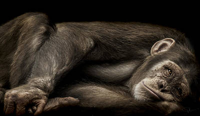 Chimpanzee Photograph - The Teenager by Paul Neville