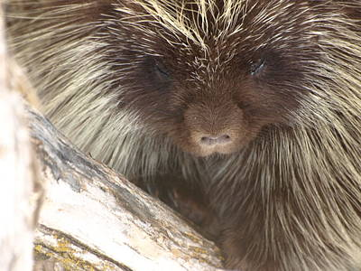 The Tender Side Of Porcupine Art Print