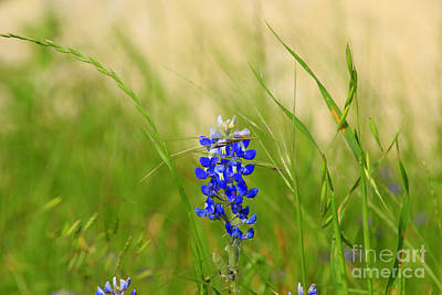 Photograph - The Texas Bluebonnet by Kathy White