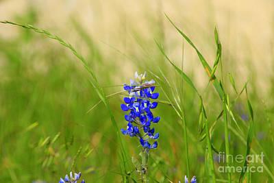 Photograph - The Texas Bluebonnet by Kathy White