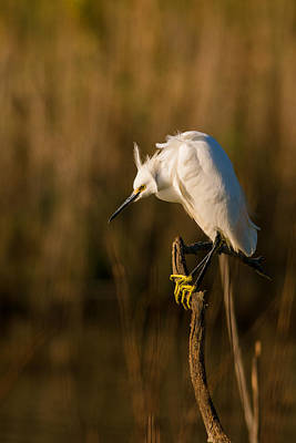 Egret Photograph - The Thinker by Benjamin DeHaven