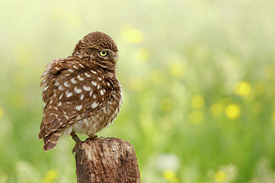 Raptor Art Photograph - The Thinker -  Little Owl In A Flower Bed by Roeselien Raimond