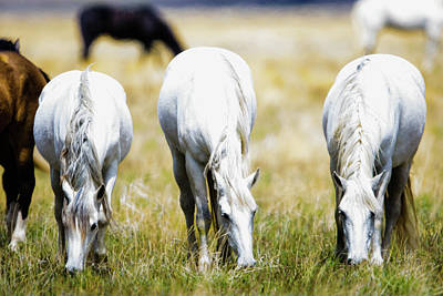 Photograph - The Three Amigos Grazing by Bryan Carter