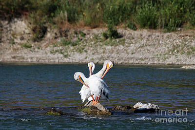 Photograph - The Three Headed Pelican by Alyce Taylor