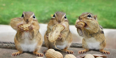 Squirrel Photograph - The Three Stooges by Lori Deiter