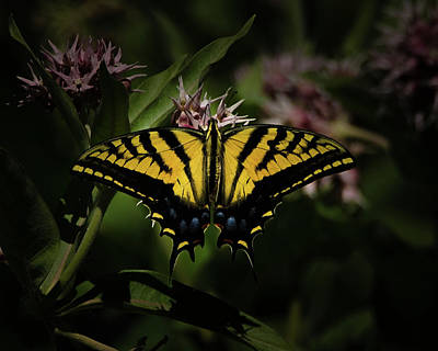 Photograph - The Tiger Swallowtail by Ernie Echols