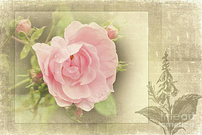 Photograph - The Timeless Rose by Liz Alderdice