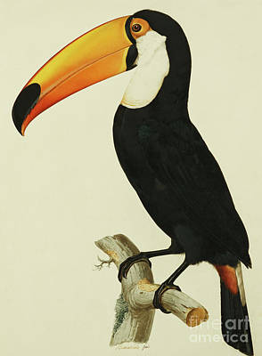 Toucan Wall Art - Painting - The Toco Toco Toucan  Ramphastos Toco by Jacques Barraband