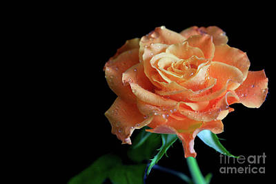 Photograph - The Touch Of A Rose by Tracy Hall