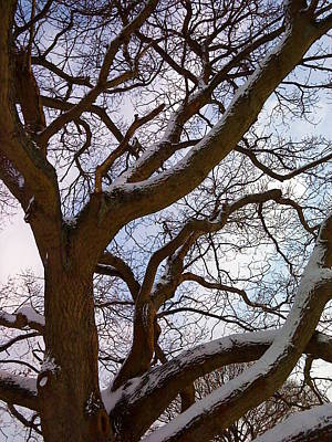 Photograph - The Tree Looked Up by Mira Cooke