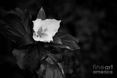White Flower Photograph - The Trillium Season by Masako Metz
