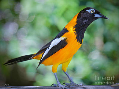 Wild Birds Photograph - The Troupial by Judy Kay