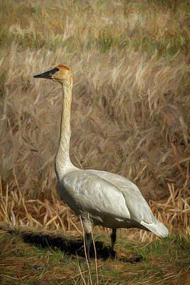 Photograph - The Trumpeter Swan by Belinda Greb
