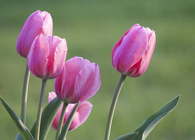 Photograph - The Tulip by Danielle Allard