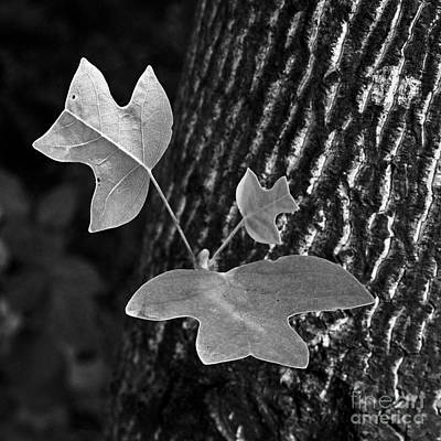 Photograph - The Tulip Poplar by Patrick M Lynch