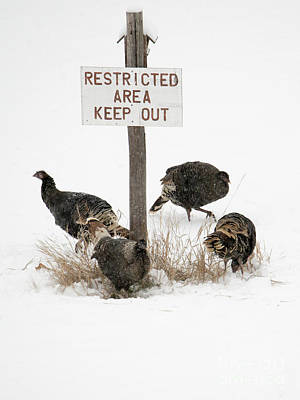 Wild Turkey Photograph - The Turkey Patrol by Mike Dawson