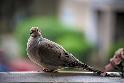 Photograph - The Turtle Dove by Gwen Vann-Horn