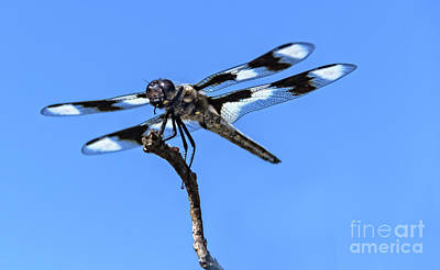 Photograph - The Twelve-spotted Skimmer by Robert Bales