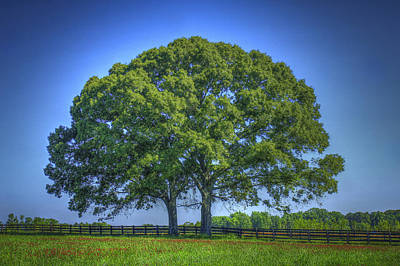 Large Oak Tree Photograph - The Two Shall Become One by Reid Callaway