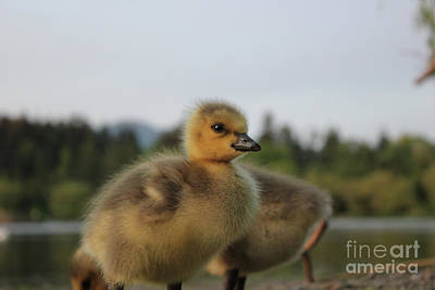 Photograph - The Ugly Duckling by Wilko Van de Kamp