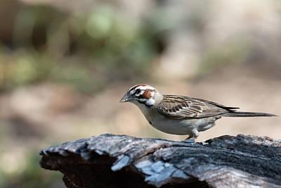 Katharine Hepburn - The Undeniable Lark Sparrow by Debra Martz