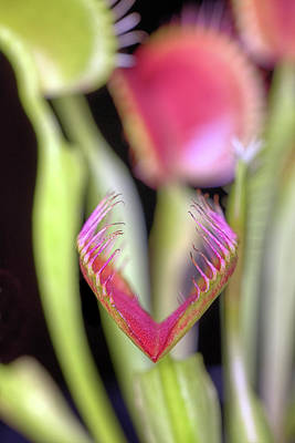 Photograph - The Venus Fly Trap by JC Findley