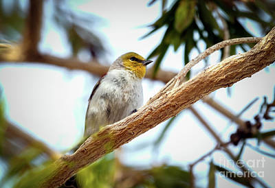 Photograph - The Verdin by Robert Bales