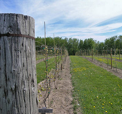 Winery Photograph - The Vines 2 by Janis Beauchamp