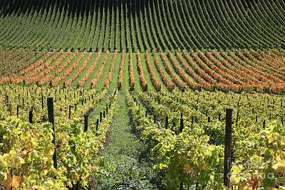 Photograph - The Vines At Denbies Dorking Surrey Uk by Julia Gavin