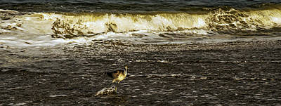 Photograph - The Wading Willet  by John Harding