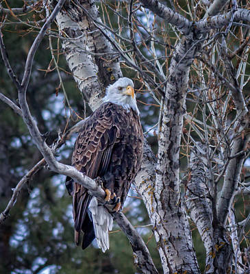 Photograph - The Watchful Bald Eagle by Ray Van Gundy