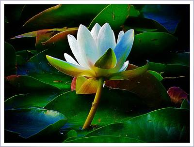 Photograph - The Water Lily by Jennifer Baulch