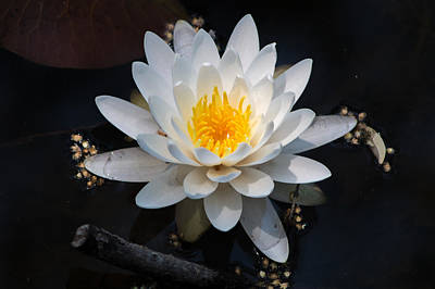 Photograph - The Waterlily Galaxy by Lynne Jenkins
