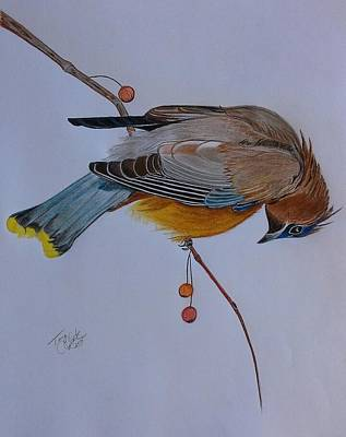 Drawing - The Waxwing  by Tony Clark