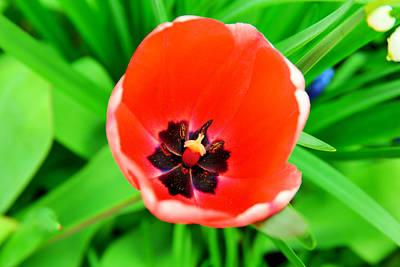 Royalty-Free and Rights-Managed Images - The way a tulip smiles by Jeff Swan
