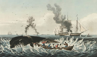 Seascape Drawing - The Whale Fishery Attacking A Sperm Whale And Cutting In by Currier and Ives
