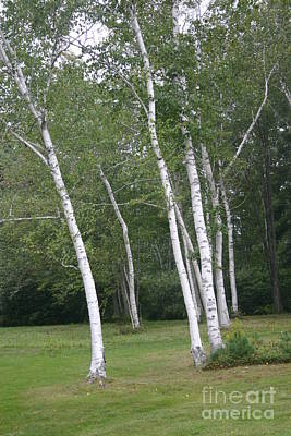 The White Birch Art Print by Dennis Curry
