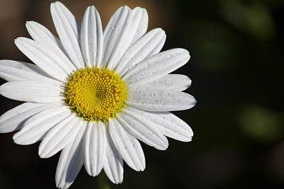 Photograph - The White Daisy by Danielle Allard