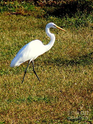 Photograph - The White Heron by Nancy Kane Chapman