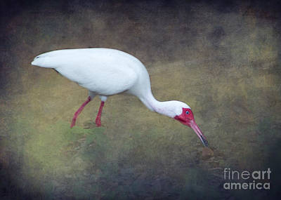 Heron Photograph - The White Ibis Feeding By Darrell Hutto by J Darrell Hutto
