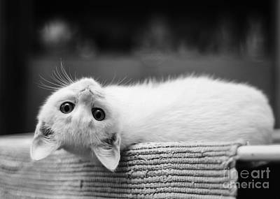 Photograph - The White Kitten by Jesse Watrous